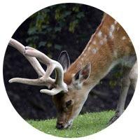 Deer Velvet Antler